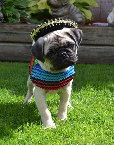 mexican pug 25 best ideas about pug costume on pugs pug costumes and pugs