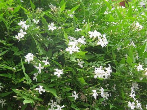 gelsomino fiori secchi gelsomino malattie parassiti e malattie piante curare