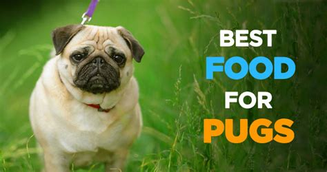 what to feed my pug best food for pugs what to feed your pug feeding tips