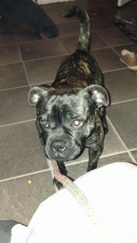 pug cross with staff pug cross staff for sale worcester worcestershire pets4homes