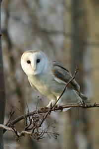 Barn Owl Videos Barn Owl
