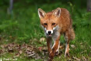 Red fox dog hybrid images amp pictures becuo