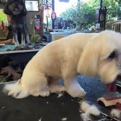 grooming lakewood a cut above grooming pet groomers 5902 77th st w lakewood wa phone number