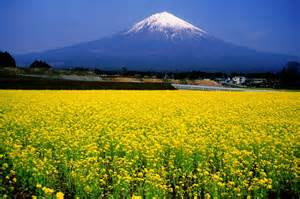 Spring Time Flowers - 富士山と葉の花畑 美しい富士山の写真 naver まとめ