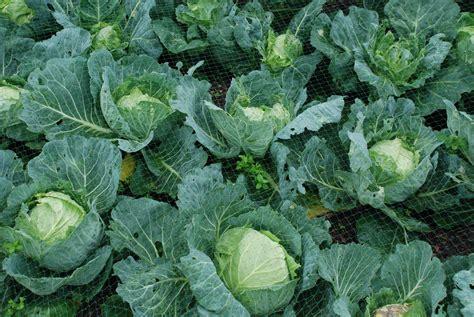 new plants cabbage cabice the biking gardener