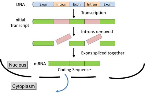 Many Rna Molecules From Eukaryotic Genes Sections Called by Of Gene Expression