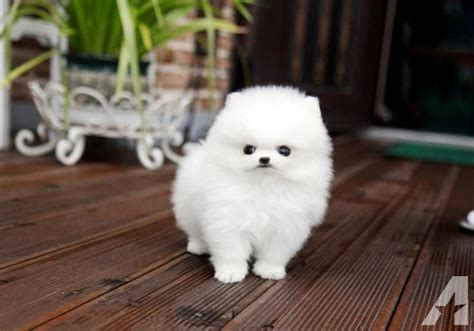 pomeranian puppies for sale in ky healhy teacup pomeranian puppies for sale in elizabethtown kentucky classified