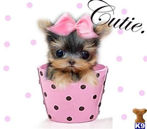 yorkie in a teacup puppy boutique