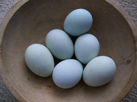 copper colored eggs rosemary lavender ameraucanas blue eggs rosemary lavender and thyme