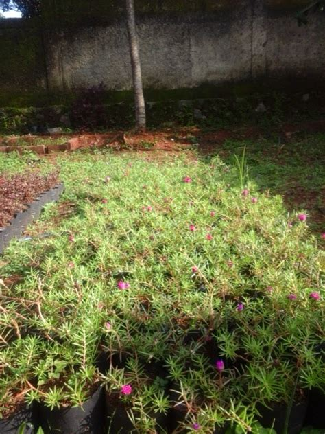 Jual Tanaman Bombay Di Jakarta Barat jual tanaman bombay jual tanaman hias tukang