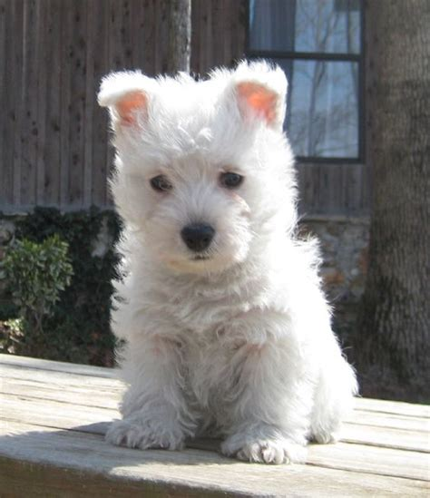 westie for sale the world s catalog of ideas