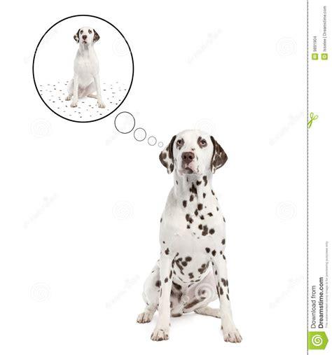Dalmatian Shedding by Dalmatian Shedding Its Spots Stock Images Image 9891904