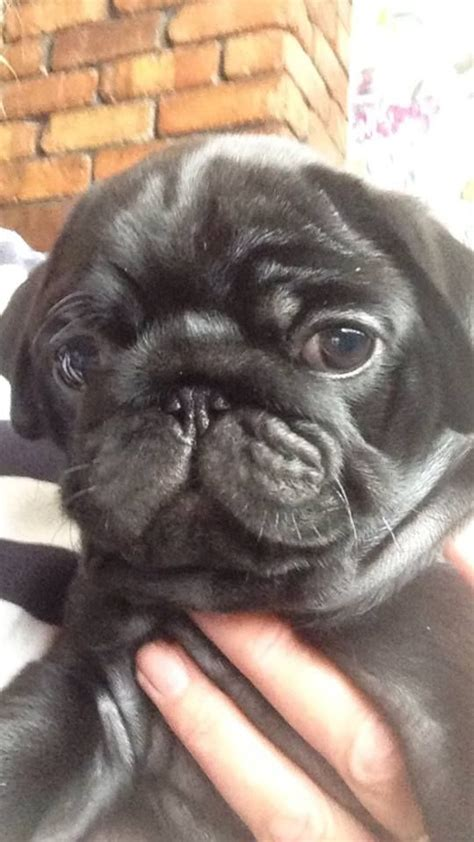 pug for sale seattle baby 12 weeks and pug puppies for sale pets for sale breeds picture