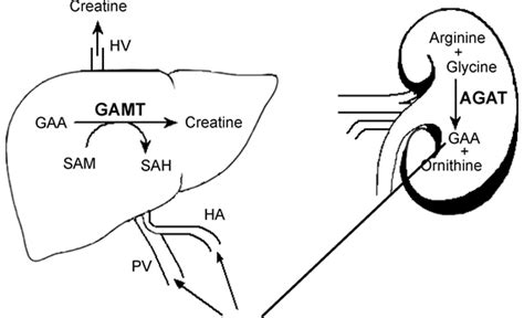 creatine effects on brain guanidinoacetic acid gaa superior to creatine in terms
