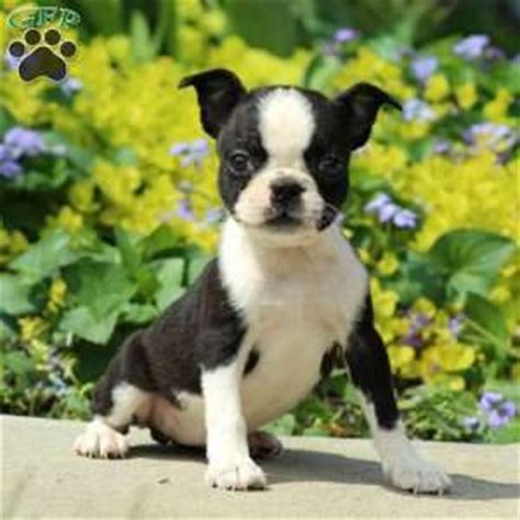 boston terrier puppies for sale in md boston terrier puppies for sale in pa