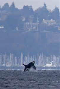Tree Homes orca whales put on a killer show in elliott bay the