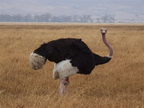 kevin hart ostrich kevin hart ostrich one of my all time favorite skits