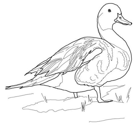 ducks unlimited coloring pages how to draw pintail
