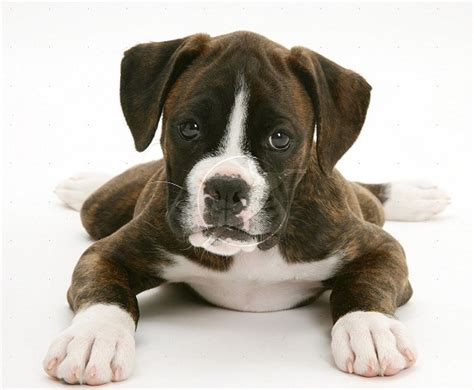 brindle boxer puppies dogs pets brindle boxer dogs pictures