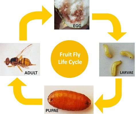fruit fly cycle fuit fly vnr nursery