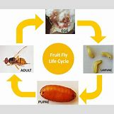 Fruit Fly Life Cycle Stages | 1086 x 908 jpeg 63kB