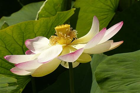 fior di loto coltivazione fior di loto coltivazione