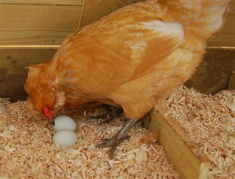 The Lay Egg Hen when hen starts laying egg peak time factors affects egg