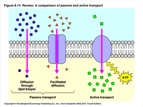 passive transport diagram image gallery simple diffusion