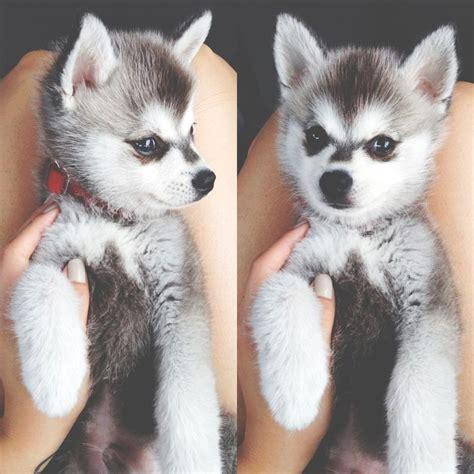 miniature husky puppies alaskan klee miniature husky cuddly puppys so and