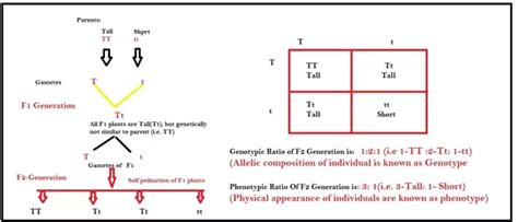what is the difference between genotype and phenotype and