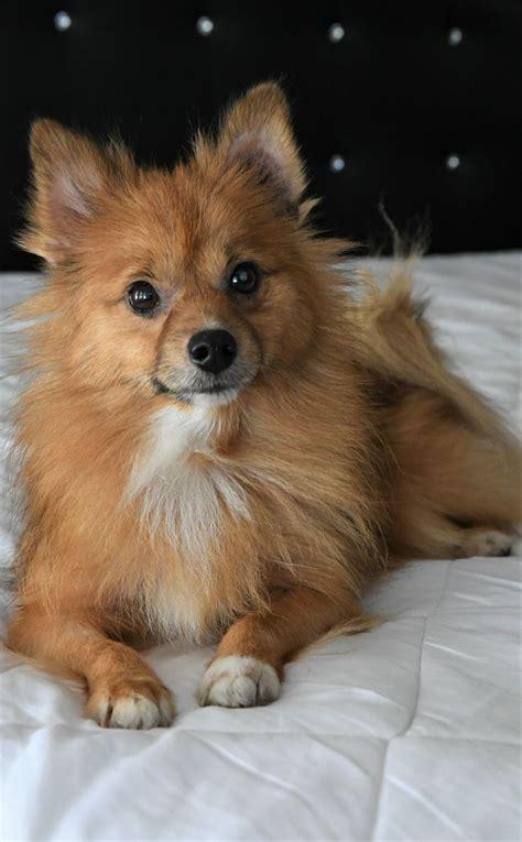 pomeranian rescue in michigan 17 best ideas about pomeranian dogs on pomeranian puppy teacup pomeranian