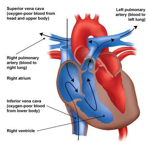 pattern of heart blood flow 10 circulatory respiratory endocrine systems studyblue