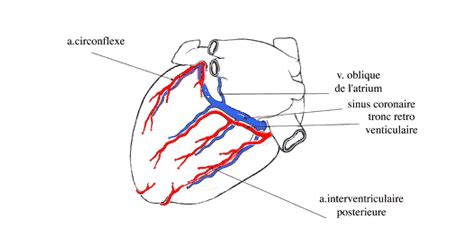sillon interventriculaire coeur vasc