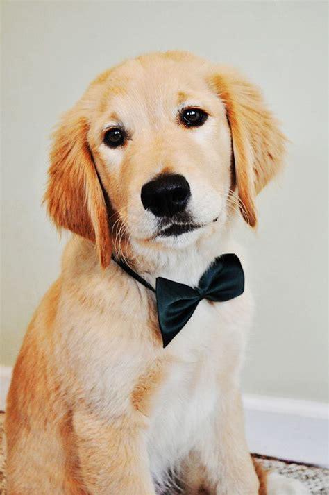 southern golden retrievers golden retriever puppy with a bow c r e a t u r e