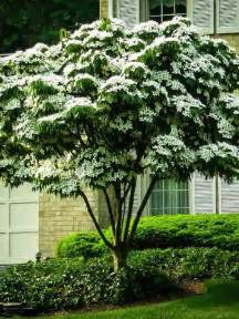Flowering Shrubs For Afternoon Sun - dogwood tree facts everything you need to know