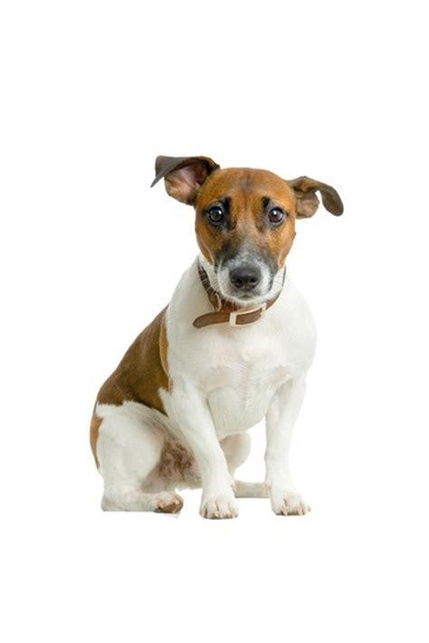Autoaufkleber Hunderassen by Hunderassen Auto Aufkleber Jack Russell Terrier