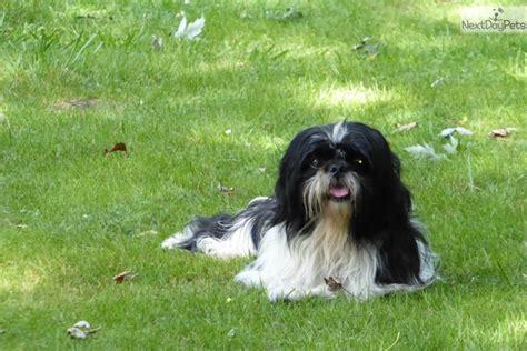 shih tzu rescue near me shih tzu puppy for adoption near chicago illinois b75ac5b8 b922