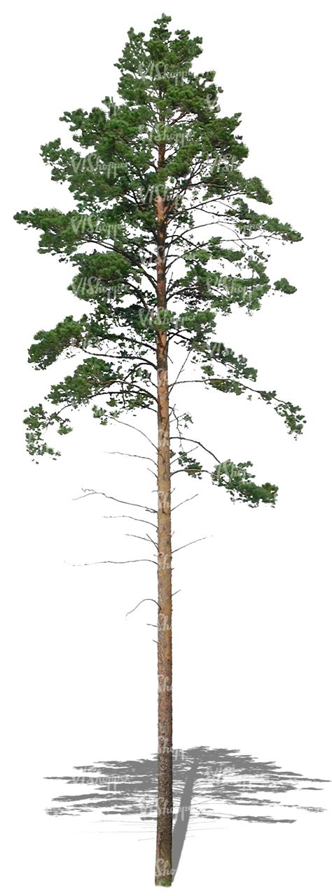 thin tree cut out and thin pine tree cut out trees and plants