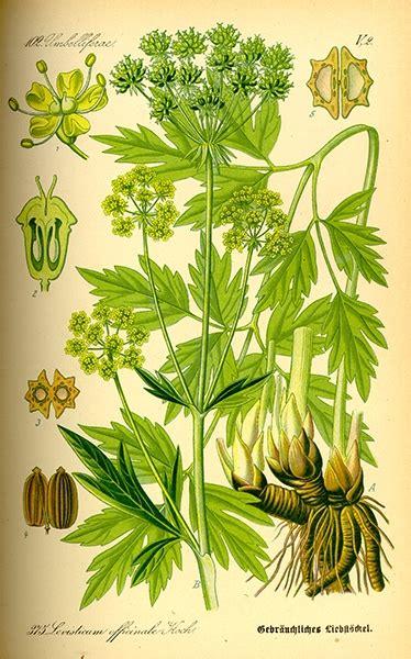 semi di sedano proprietà levistico gaiavita erbe e piante medicinali