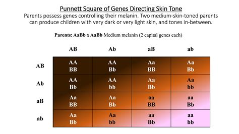 skin color genetics punnett square skin color www pixshark images