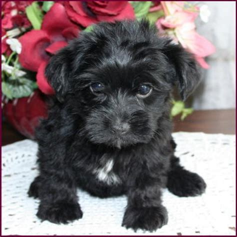 yorkie poodle rescue 17 best ideas about yorkie poo puppies on