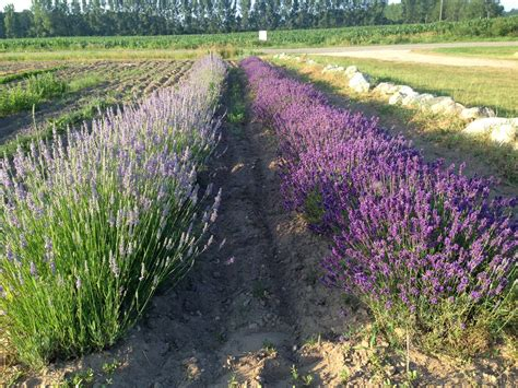 lavender labyrinth a hypnotically aromatic labyrinth in west michigan made up