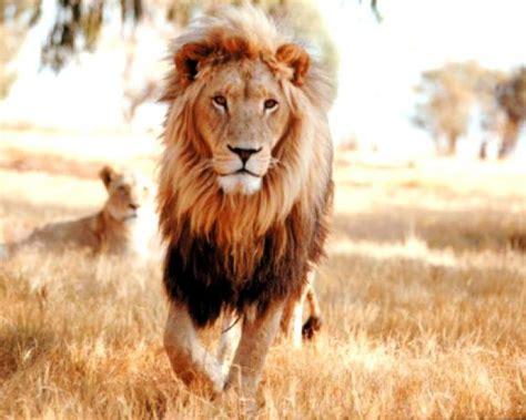 imagenes de leones las mejores ranking de grandes animales africanos listas en 20minutos es