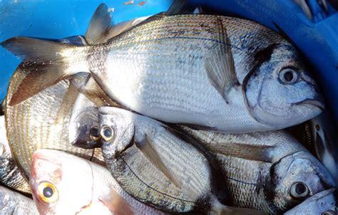 come cucinare il sarago sarago il pesce sostenibile dell estate parliamo di cucina