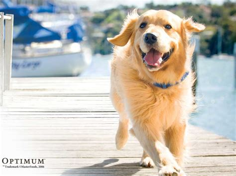 golden retriever golden retrievers animals wiki pictures