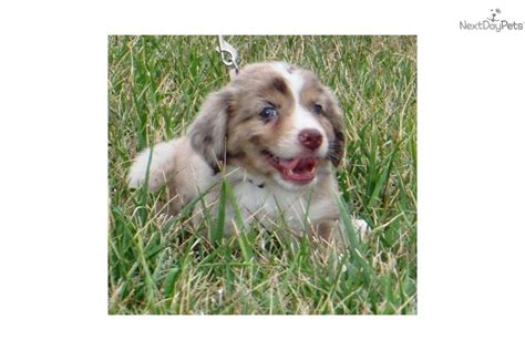 puppies for sale columbia mo miniature australian shepherd puppy for sale near columbia jeff city missouri