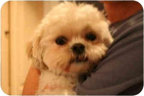 shih tzu mix puppies chicago bichon frise mixed with shih tzu