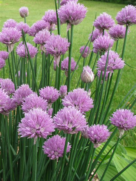 oderings garden centre herb chives common onion