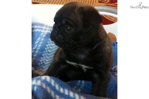 pugs for sale sacramento ca color pug puppies for sale breeds picture
