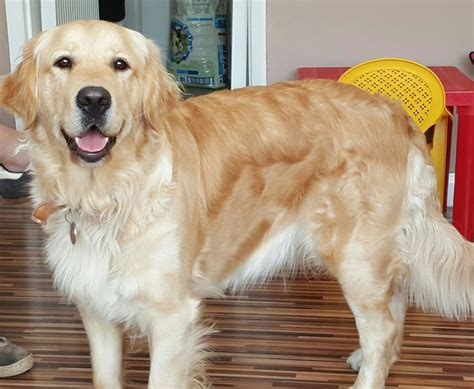 pets4homes golden retriever golden retriever for sale nottingham nottinghamshire